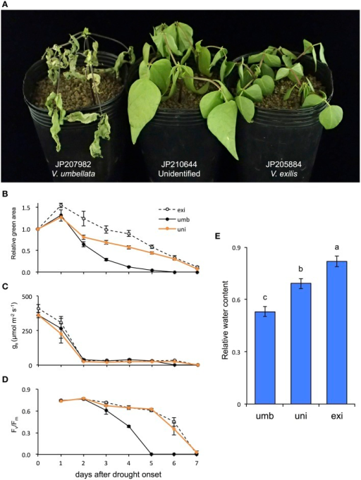 The effect of drought stress on V. umbellata, V. exilis, and the unidentified accession. Photo was taken on the 4th day after drought onset (A). The effect of drought stress on relative green area (B), stomatal conductance (gs) (C), maximum quantum yield of photosystem II (Fv/Fm) (D), and relative water content (E). The values are presented as means ± standard error (SE); n = 5 for gs, relative green area and Fv/Fm; and n = 3 for relative water content. Bars with different letters are significantly different, denoted by P < 0.01 according to Turkey's range test.