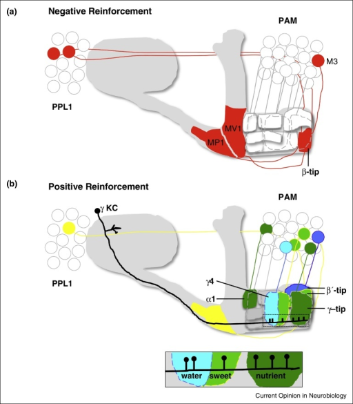 Schematics of reinforcing dopaminergic neurons that innervate the MB. (a) The MB-MP1 [PPL1-γ1pedc] and MB-MV1 [PPL1-γ2α′1] DANs in the protocerebral posterior lateral (PPL) 1 cluster provide negative reinforcement signals. The MB-MV1 neuron projects to the lower stalk and junction region and the MB-MP1 neuron innervates the heel and distal peduncle. In addition, the aversive MB-M3 (PAM-β2β′2a) neuron from the protocerebral anterior medial (PAM) cluster ramifies on the tip of the β lobe. All neurons shown have an identical paired neuron that primarily innervates the contralateral MB lobes. (b) DANs in the PAM cluster mostly provide positive reinforcement signals. PAM DANs representing sugar sweetness (green with yellow outline), nutritious value of sugar (darker green) and water (blue) project to discrete zones of the horizontal β, β′ and γ MB lobes (marked with dotted outlines for γ); sweet taste to β′2am and γ4, sugar nutrient to γ5b (tip) and α1 (and possibly β1 β2, not illustrated), and water to a subregion of γ4 that appears distinct from the sweet-taste DANs. In addition, naïve evaluation of water vapor in thirsty flies requires a DAN that innervates β′2p. Reward type is therefore differentially represented in the DAN population and along the MB lobes. Several of the PAM DANs also have a projection to the contralateral MB. A single γ KC is shown with inset illustrating a model where adjoining segments of the KC arbor contain KC presynaptic terminals that are reinforced by DANs for water, sweet taste, or sugar nutrient value. These presynapses are assumed to wire to MBONs with a very similar zonally restricted anatomy to that of the DANs. Cell body position is not stereotyped and diagrams are not intended to be anatomically accurate. These illustrations are edited from [25].