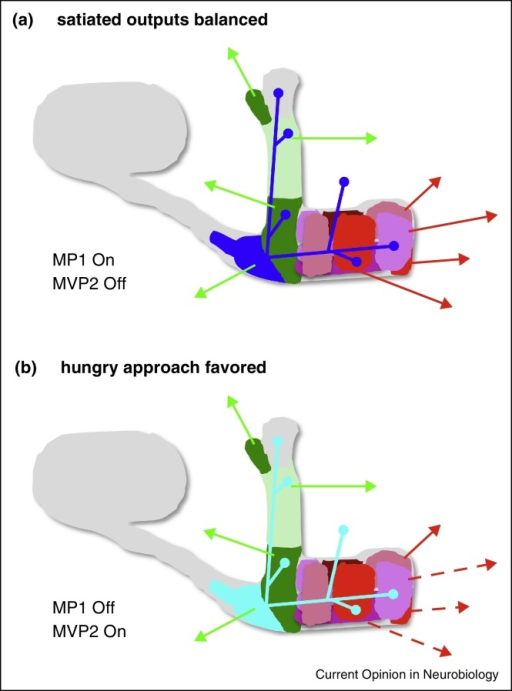Model how local feed-forward inhibitory interneurons in the MB could mediate the motivational control of sugar memory retrieval. (a) The MB-MP1 [PPL1-γ1pedc] DANs that innervate the heel and peduncle of the MB provide the inhibitory constraint of satiety on the expression of sugar reward memory [53]. The MB-MP1 presynaptic terminals overlap with the dendrites of the GABAergic MVP2 [MBON-γ1pedc > α/β] (dark blue) [46••] suggesting that MB-MP1 DANs drive plasticity between KC synapses in these regions and the MVP2 MBONs. In the satiated fly the MB-MP1 DANs are tonically active/on and therefore inhibit odor-drive to MVP2, reducing feed-forward inhibition to MBON junctions, such as M4 [MBON-β2 β′2a, MBON-β′2mp] and M6 [MBON-γ5β′2a] outputs on the horizontal lobe tips that drive avoidance. This situation inhibits the expression of reward memories. (b) In hungry flies the MB-MP1 neurons are inhibited/turned off by the action of Neuropeptide F [53]. This results in increased odor-drive to MVP2 and therefore more feed-forward inhibition (MVP2 neuron now light blue) to MBON avoidance pathways (dashed red arrows). This situation favors expression of conditioned odor approach behavior. Interestingly, only nutrient-dependent sugar memory expression requires the flies to be hungry [32••] and MVP2 innervates the relevant α1 zone of the MB. Furthermore, water-reinforced memory expression is promoted by thirst and not hunger and the MVP2 neuron does not seem to have an arbor in the γ4 water-reinforcement zone. A similar mechanism could provide state-dependence to visual and tastant memories.