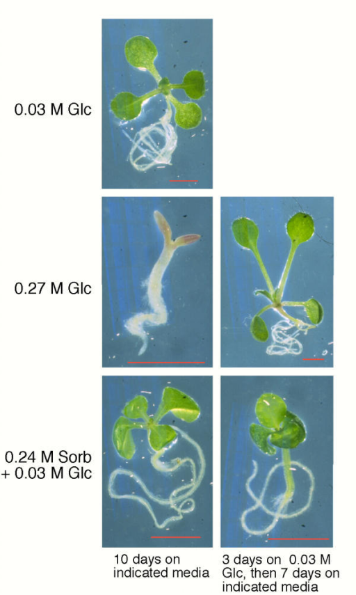 Early exposure to high concentrations of exogenous glucose inhibits seedling development. Seedlings shown in the left column were grown on the indicated media for 10 days. Seedlings shown in the right column were grown on minimal media supplemented with 0.03 M glucose for 3 days, transferred to the indicated media and grown for an additional 7 days prior to photographing. Red bars = 2.0 mm. Glc, glucose; Sorb, sorbitol.