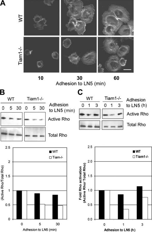 Rho activity upon adhesion to LN5. (A) Wt and Tiam1−/− keratinocytes were seeded on LN5-coated coverslips. After 10, 30, and 60 min, cells were stained with phalloidin. Bar, 20 μM. (B) Growth factor–starved keratinocytes were seeded on a LN5 matrix. After 0, 5, and 30 min, cells were lysed and Rho activity was determined. A representative experiment is shown and quantified in the histogram, which represents the Rho activation (relative to the total Rho levels) in WT and Tiam1−/− cells. (C) Growth factor–starved keratinocytes were seeded on a LN5 matrix as described in B. After 0, 1, and 3 h, cells were lysed and Rho activity was determined and quantified as described in B.