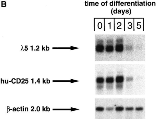 Downregulation of transgene expression upon differentiation of in vitro cultivated pre–B cell lines. Pre–B cell lines were cultivated in the  presence of IL-7 on ST-2 stromal cells as described (15), and differentiation was induced by withdrawal of IL-7. (A) After 0, 1, 2, and 3 d in the absence  of IL-7, the cells were stained with antibodies specific for CD19, λ5 (as detected by the mAb LM34; reference 23), hu-CD25, and IgM, and analyzed by  FACS®. Fluorescence intensities are displayed (solid histograms) and the fluorescence intensity of an irrelevant antibody is overlaid (open histograms). (B) After 0, 1, 2, 3, and 5 d in the absence of IL-7, the cells were harvested and RNA was prepared and subjected to Northern blot analysis using λ5, hu-CD25,  and β-actin specific probes.