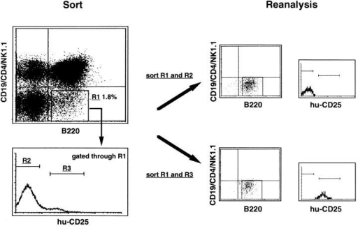 FACS® sorting procedure and reanalyzed data of  transgenic BM cells analyzed for  expression of B220, CD19, CD4,  NK1.1, and hu-CD25. BM cells  depleted of IgM+ cells (see Materials and Methods) were stained  with anti–B220-APC, anti–CD19PE, anti–CD4-PE, anti–NK1.1PE, and anti–hu-CD25–FITC.  B220+CD19−CD4−NK1.1− cells  (gate R1) were gated and analyzed for hu-CD25 expression.  Hu-CD25 positive (gate R3) and  negative cells (gate R2) among  the B220+CD19− CD4−NK1.1−  population were sorted separately and the obtained fractions  were reanalyzed after sorting.