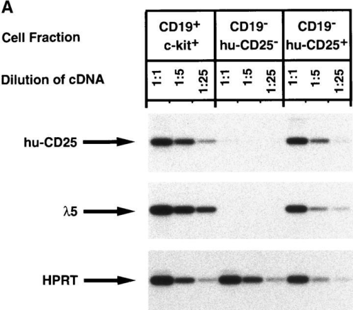 Characterization of the B220+CD19− negative cell population in BM of mice expressing the hu-CD25 transgene under the control of the  5′λ5. (A) Expression of hu-CD25, endogenous λ5, and HPRT in sorted cell populations. BM cells were sorted by FACS® after triple labeling for B220,  CD19, and hu-CD25, or double labeling for CD19 and c-kit, respectively. Fivefold dilutions of cDNA from sorted cells were subjected to PCR amplification of hu-CD25, λ5, and HPRT genes and PCR products detected by Southern blotting with specific probes. (B) PCR-mediated analysis of the rearrangement status of the IgH locus in sorted cell populations. DNA of sorted cells was subjected to PCR amplification as outlined in the top of the figure. After electrophoresis and Southern blotting, the PCR products were detected by hybridization with a JH4-specific oligonucleotide. Sorted cell  populations are in lane 1, B220− c-kithigh; lane 2, CD19+ c-kit+, and lane 3, B220+CD19− hu-CD25+. (C) Limiting dilution analysis of FACS® sorted  B220+ cells from BM on ST-2 stromal cells in the presence of IL-7. Growth of pre–B cell colonies consisting of >50 cells was scored on day 7 of culture.  24 replicate cultures for each cell number were initiated. According to Poisson distribution, one precursor is present in the cell suspension when 37% of  the cultures do not show colonies.