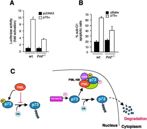 PML is required for p73 transcriptional and proapoptotic activity. (A) A bax promoter-driven luciferase reporter plasmid (bax-Luc) alone or in combination with p73α was transfected into wild type and Pml−/− MEFs, and luciferase activity was assayed 48 h after transfection. pRL-TK vector was included to normalize transfection efficiency, and reporter basal luciferase activity was normalized as 1. Values are mean ± SEM of two separate experiments each performed in duplicate. (B) Wild type and Pml−/− MEFs were retrovirally transduced with a pBabe-p73α construct for 48 h, selected in puromycin-containing medium for 3 d, and scored for apoptosis by FACS® analysis using propidium iodide staining. Values are mean ± SEM of two separate experiments each performed in duplicate. (C) A model for PML-mediated protection against p73 degradation. PML inhibits p73 ubiquitin-dependent degradation (left). PML controls p73 stability by regulating p73 acetylation levels in the PML-NB, thereby preventing its ubiquitinylation (right).