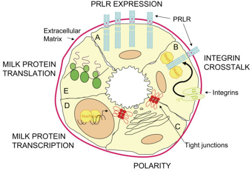 Model of the pathways required for secretory activation and lactation that are perturbed in Src-/- mice. A) PRLR EXPRESSION. In normal mice PRLR expression increases at parturition, this is absent in the Src-/- mice and they have decreased levels of both PRLR message and protein. B) INTEGRIN CROSSTALK. Integrin-mediated adhesion is essential for STAT5 activation downstream of PRLR signaling and Src may be a required mediator for the β 1 integrin-induced crosstalk. The Src-/- mice have diminished levels of STAT5 phosphorylation. C) POLARITY. Epithelial cell polarity is crucial for secretory activation. The mammary glands of Src-/- mice do not have organized lobuloalveolar structures and many of the epithelial cells do not show restricted apical staining suggesting that Src is required for epithelial cell polarity and organization. D) MILK PROTEIN TRANSCRIPTION. Src-/- mice have significantly less β-casein message compared to wildtype mice. This may be directly related to the decreased levels of STAT5 activation in these cells or Src may also be a required signaling molecule in the additional pathways necessary for milk protein transcription. E) MILK PROTEIN TRANSLATION. Milk protein expression is also regulated at the translational level. Src-/- mice have decreased levels of milk proteins and a possible role for Src in the post-transcriptional regulation has not been investigated.