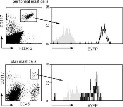 Efficiency of Cre-mediated reporter gene activation in mast cells. EYFP expression is demonstrated in cells from peritoneal lavage fluid and single cell suspensions of skin of Mcpt5-Cre ROSA26-EYFP double transgenic mice. Peritoneal mast cells were stained for CD117 and FcεRIα (n = 7) and skin mast cells for CD117 and CD45 (n = 4). Mast cell populations were gated and their EYFP fluorescence displayed in histogram plots. The black graph represents Mcpt5-Cre ROSA26-EYFP double transgenic mice, the shaded graph represents the Cre-negative but ROSA26-EYFP-positive control (littermates in most instances)