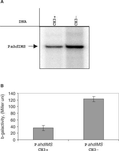 Regulation the PahdIMS activity in vitro and in vivo. (A) A single-round transcription in vitro by E.coli RNAP σ70 holoenzyme (100 nM) from regulatory region DNA fragment (13 nM) containing methylated and unmethylated promoter region were performed and products were separated by gel electrophoreses. Autoradiographs of 8% denaturing polyacrylamide gels are shown. (B) Effect of methylation on the expression of ahdIM gene. Plasmid pPM containing transcriptional fusion PahdIM'::'lacZ were co-transformed with the pAhdIMRinC plasmid (only methylase gene is active), bacterial cultures were grown until OD600 0.5 and β-galactosidase activity was measured in three independent sets of experiments.