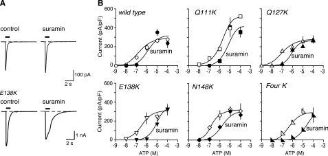Introduction of lysine residues into the mouse receptor can increase sensitivity to suramin. A, representative traces of membrane currents evoked by ATP (10 μm), applied for 1 s as indicated by the horizontal bars. Left panels, control. Right panels, in suramin (10 μm). B, ATP concentration-response curves for wild type mouse P2X1 receptors and for receptors with one or four lysines introduced at the positions indicated. Open symbols, control. Solid symbols, in presence of suramin (10 μm). Note the increased effectiveness of suramin as an antagonist in the case of mouse P2X1[E138K] and of mouse P2X1[4K] receptors.