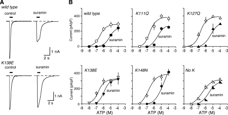 Removal of lysine residues from the human mouse receptor can reduce sensitivity to suramin. A, representative traces of membrane currents evoked by ATP (10 μm), applied for 1 s as indicated by the horizontal bar. Left panels, control. Right panels, in suramin (10 μm). B, ATP concentration-response curves for wild type mouse P2X1 receptors and for receptors with one or four lysines removed at the positions indicated. Open symbols, control. Solid symbols, in presence of suramin (10 μm). Note the decreased effectiveness of suramin as an antagonist in the case of human P2X1[K138E] and also for human P2X1[No K] receptors.