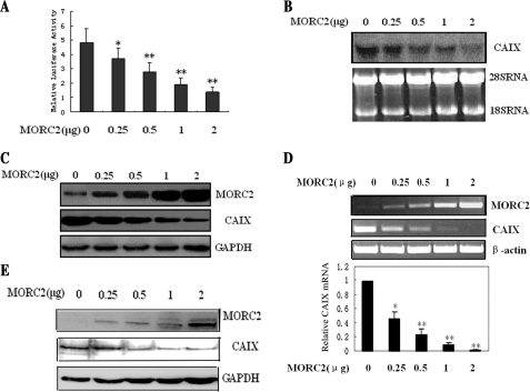 MORC2 down-regulates CAIX promoter activity, mRNA and protein levels in a dose-dependent manner. (A) MGC-803 cells were transfected with pGL3-E-CP reporter construct (firefly luciferase expression vector), pRL-TK plasmid (renilla luciferase expression vector) and MORC2 expression vector as indicated. Total DNA of the plasmid was adjusted to the same amount by transfecting pcDNA3.1 empty vector. After 24 h of transfection, the cells were harvested and firefly and renilla luciferase activities were measured using Dual-Luciferase Reporter Assay System (Promega), with the results expressed as the ratio of firefly to renilla luciferase activity (Fluc/Rluc). The renilla luciferase activity was used as a control for normalizing the assay. All the results represented means ± SD of three independent experiments. *P < 0.05, **P < 0.01. (B) MGC-803 cells were transfected with the MORC2 expression vector as indicated. After 30 h of transfection, the mRNA levels of CAIX were measured by northern blot analysis. (C) The same transfection experiment as (B), after 30 h of transfection, cells were lysed and equal amounts of protein (100 μg) were separated by SDS–PAGE, the protein levels of MORC2 and CAIX were measured by western blot analysis. (D) MORC2 expression vectors were transiently transfected into SGC-7901 cells as indicated, and the mRNA level was estimated by RT–PCR and real-time PCR analysis. Values are means ± SD (n = 3). **P < 0.01. (E) SGC-7901 cells were transfected with MORC2 expression vector as indicated, after 30 h of transfection, the protein levels of MORC2 and CAIX were measured by western blot analysis.