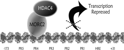 Proposed model showing roles of MORC2 and HDAC4 in regulation of the CAIX gene. MORC2 binds the protected region 4 in the CAIX promoter, and recruits HDAC4 that decreases the acetylation level of histone H3 at the CAIX promoter, leading to a closed chromatin structure and thus the transcriptional repression of CAIX gene.
