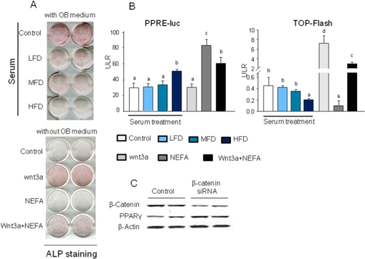 Serum from HFD-induced obese rats and an artificial FA mixture suppress osteoblast differentiation.(A), ST2 cells were cultured in 12 well plates. Cells were treated with 2% serum from LFD, MFD or HFD rats, 50 ng/ml Wnt3a, 400 µM FAs and their combination for 7 days in the presence or absence of osteogenic medium. Alkaline phophatase staining was performed. (B), 2% serum from HFD-induced obese rats and an artificial FA mixture significantly decreased TCF/LEF-dependent transcription of a luciferase reporter gene (TOPFLASH) in C2C12 osteoblastic cells compared with cells treated with LFD serum. Luciferase activity in C2C12 cells transfected with a PPRE-luc reporter construct and treated with 2% serum from LFD, MFD or HFD-fed rats, 50 ng/ml Wnt3a, 400 µM FAs and their combination for 24 h. (C), β-catenin gene was knock down using β-catenin siRNA in ST2 cells. After 24 h of β-catenin siRNA, cell proteins were collected and western blot was performed for β-catenin and PPARγ. Bars are expressed as mean ± SEM in triplicates. *, P<0.05, versus control by ANOVA followed by Student-Newman-Keuls post hoc analysis for multiple pairwise comparisons.