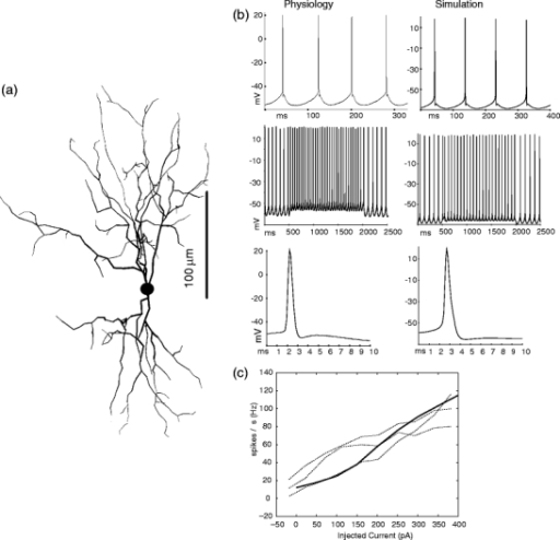 Match of DCN model neuron to physiological properties. (a) Morphology of reconstructed neuron used for our model. The artificially created axon attached to the soma is not shown. (b) (left column) Slice recording of typical DCN neuron. Voltages shown are junction potential corrected (see Section 2). (right column) Sample simulation traces show good match in spike shape and afterhyperpolarization properties with physiology. (c) Spike rates as a function of injected current for three recorded neurons (dotted lines), and the model (solid line). The f-I curve for the model was obtained with rebound conductance densities GNaP of 8 S/m2, GHCN of 1 S/m2, and GGCaT of 2 S/m2. These conductances, however, had little influence on spontaneous activity or on the f-I curve