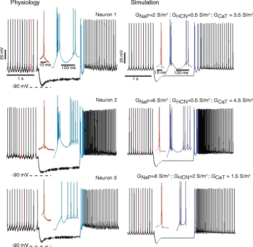 Different typical rebound patterns of DCN neurons recorded in brain slices (Neurons 1–3, left column) and matching rebound types in the model (right column). Note that the HCN current activates well above −90 mV in our physiological data (dashed lines). Insets show an expanded waveform of a single spontaneous spike (red) and the initial portion of rebounds (blue). A current injection of −150 pA for 1.5 s elicited the hyperpolarization and following rebound in both the physiological traces and the model. Models using the combinations of rebound conductances replicating the rebound patterns of Neurons 1, 2 and 3 are referred to as models of these specific neurons in the remainder of the paper
