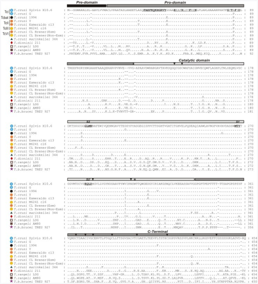 Alignment of predicted amino acid sequences from entire cruzipain of T. cruzi (TcI, TcII, TcIII, TcVI and Tcbat) and homologues from T. cruzi-like (T. c. marinkellei and T. dionisii), T. rangeli and T. b. brucei.Pre, pro, catalytic domain and C-terminal extension amino acid sequences of cruzipain genes from T. cruzi Sylvio X10.6 and G (TcI), TCC1994 (Tcbat), Y and Esmeraldo cl3 (TcII), M6241 cl6 (TcIII), CL Brener (TcVI) Non-Esmeraldo-like (TcIII) and Esmeraldo-like (TcII) haplotypes and homologues from T. c. marinkellei (344), T. dionisii (211), T. rangeli (LDG and AM80) and T. b. brucei (TREU 927). The CATL family signatures of pro-domain motifs ERFININ (ERFN) and GNFD (GTFD) are indicated in bold and underlined, the subsites S1, S2 and S2′ are in bold, and the conserved Trp181 are indicated by (*).The glutamine [Q] of the oxyanion hole, cysteine [C], histidine [H] and asparagine [N] of catalytic triad in the catalytic domain, and 8 cysteines in the C-terminal extension are indicated by arrow heads.