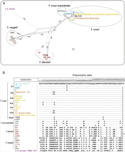 Network and polymorphism analyses on catalytic domain of cruzipain genes from different trypanosome species.Genes from Schizotrypanum species (T. cruzi, T. c. marinkellei and T. dionisii) were compared with homologues from their closest relative species, T. rangeli, and the distant related T. b. brucei. (A) Network of 33 amino acid predicted sequences constructed using the Neighbour-Net algorithm excluding all conserved sites and with Uncorrected p-distance. The numbers in nodes correspond to bootstrap values from 100 replicates. (B) Polymorphism on cruzipain amino acid sequences from the distinct trypanosome species.