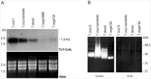 Comparative expression analysis of cruzipain and homologues in T. cruzi, T. cruzi marinkellei, T. dionisii and T. rangeli.(A) Northern blotting analysis of cruzipain transcripts from T. cruzi (Y) and cross-hybridization using the probe consisting of PCR-amplified catalytic domains of T. cruzi Y cruzipain labeled with 32P T. cruzi Y (TcY-CatL probe); agarose gel of RNA used for this analysis was stained with ethidium bromide (EtBr). (B) CATL proteolytic activities detected in epimastigote lysates of T. cruzi G, T. cruzi marinkellei, T. dionisii and T. rangeli. Activity banding profiles detected in gelatin gels, pH 5.0 and 5 mM DTT were inhibited in gel incubated with 10 µM E-64.
