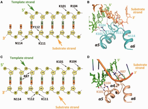 Protein–DNA interactions in complexes I and II. Schematic diagram of the protein–DNA interactions in complexes I (A) and II (C). (B) Close-up view of the five interactions between ExoX and the 3′ overhanging dsDNA. (D) Close-up view of the three interactions between ExoX and the blunt duplex DNA complementary strand. Interactions exist between Arg87 and the complementary DNA strand in complex II that cannot be observed in complex I.