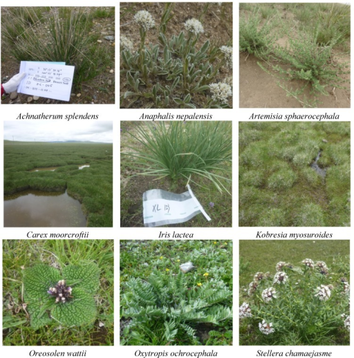 Photos of the selected grass species.