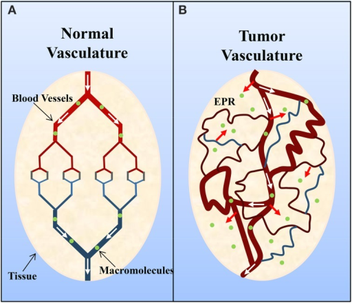 Schematic representation of (A) normal and (B) tumor vasculature. Normal tissue is composed of mature, organized blood vessels, while tumor tissue consists of immature, leaky and tortuous vessels. The altered organization of tumor vasculature and disorganized lymphatic network results in vascular leakage and the accumulation of macromolecules (>40 kDa) within the interstitium and is known as the enhanced permeation and retention (EPR) effect. Adapted by permission from Macmillan Publishers Ltd: Nature Medicine (Jain, 2001), copyright (2001).