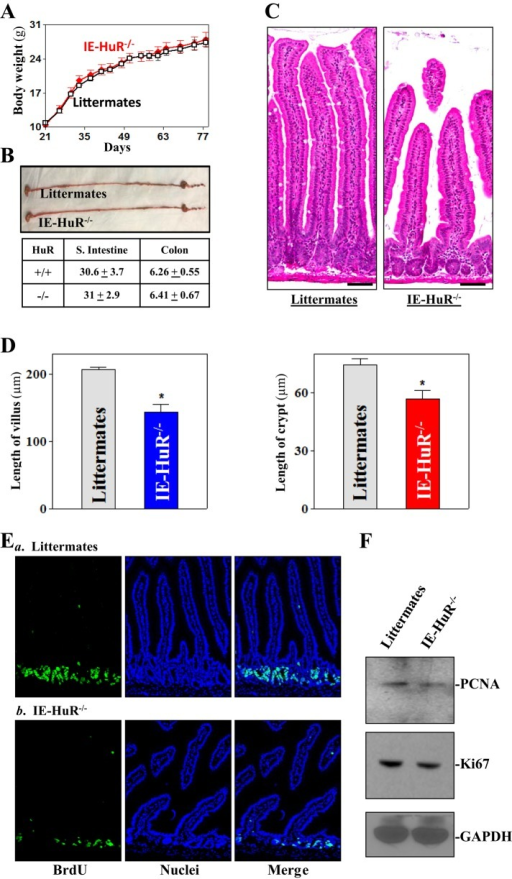 HuR deletion in IECs inhibits small intestinal mucosal growth. (A) Body weights of age- and sex-matched littermate and IE-HuR−/− mice. Values are the means ± SEM (n = 10). (B) Comparison of gastrointestinal gross morphology in littermates and IE-HuR−/− mice. (C) Photomicrographs of hematoxylin and eosin stain staining of the small intestine. Scale bar, 50 μm. (D) Changes in the length of villi (left) and crypt (right) of the mucosa described in C (n = 6). *p < 0.05 compared with littermates. (E) Proliferating cells in small intestinal crypts as measured by BrdU labeling. BrdU (1 h postinjection, S phase), green. (F) Expression of PCNA and Ki67 proteins in the small intestinal mucosa.