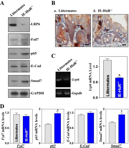 HuR deficiency correlates with reduction in LRP6 levels. (A) Changes in expression of LRP6, Fzd7, p65, E-cad, and Smad7 proteins in small intestinal mucosa in littermates and IE-HuR−/− mice. (B) Immunohistochemical staining of LRP6 in mucosal tissues. Scale bar, 50 μm. (C) Lrp6 mRNA levels in the intestinal mucosa as measured by RT-PCR (left) and qPCR (right) analyses. Values are the means ± SEM (n = 6). *p < 0.05 compared with littermates. (D) Levels of Fzd7, p65, E-cad, and Smad7 mRNAs as measured by qPCR analysis. *p < 0.05 compared with littermates.