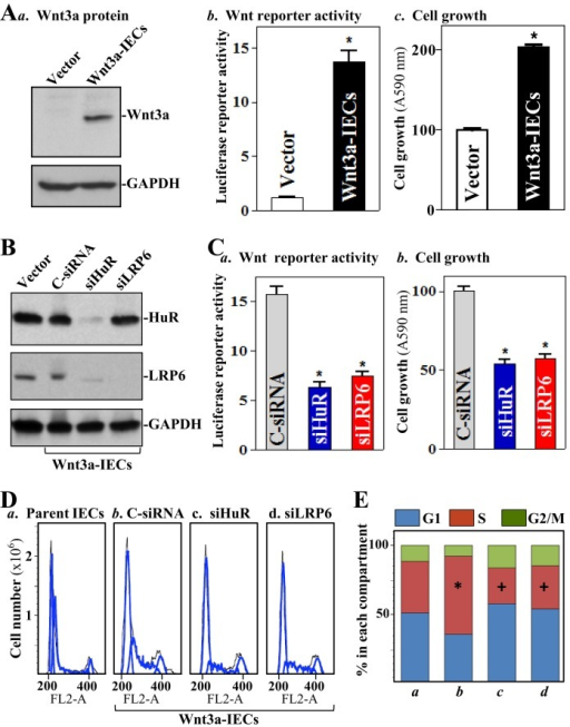 Silencing HuR or LRP6 inhibits cell proliferation in stable Wnt3a-transfected IEC-6 cells. (A) Western blot analysis of the levels of Wnt3a protein (a), Wnt/β-catenin signaling activity as measured by using the TOPFLASH reporter assay (b) and cell growth as examined by MTT assay (c) in stable Wnt3a-transfected cells. Values are the means ± SEM (n = 6). *p < 0.05 compared with vector. (B) Immunoblots of HuR and LRP6 after transfection with siHuR or C-siRNA for 48 h. (C) Changes in Wnt/β-catenin signaling activity and cell growth. Values are the means ± SEM (n = 3). *p < 0.05 compared with C-siRNA. (D) Flow cytometric analysis of cell cycle distribution. Black line, area; blue line, curve fit; FL2-A, DNA content. (E) The relative G1, S, and G2/M compartments calculated from data described in D. Values are the means from three separate experiments. *,+p < 0.05 compared with parent IECs and Wnt3a-IECs transfected with C-siRNA, respectively.