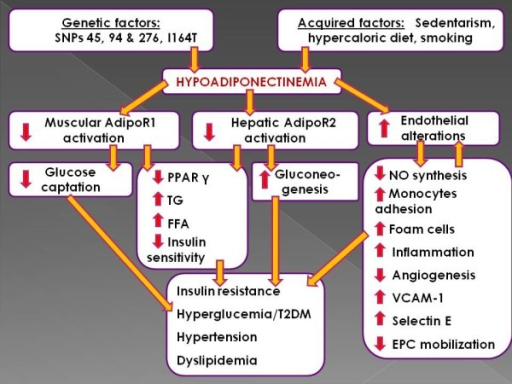 Schematic depiction of the clinical outcomes of hypoadiponectinemia. Hypoadiponectinemia leads to diminished adiponectin receptors activation accompanied by increased endothelial alterations. These factors put forth several biochemical chain reactions exerting detrimental consequences via multiple pathways. These chain reactions may act reciprocally, finally conducting to serious cardiometabolic derangement.
