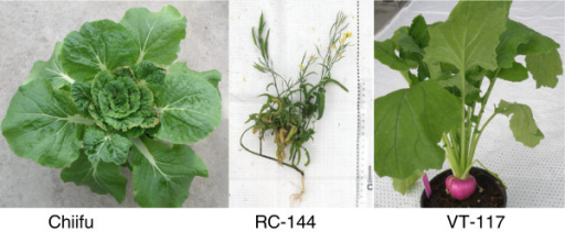 ThreeBrassica rapaplants. Left: the Chinese cabbage cultivar, Chiifu; middle: an oil-like rapid cycling line (RC-144); right: Japanese vegetable turnip (VT-117).