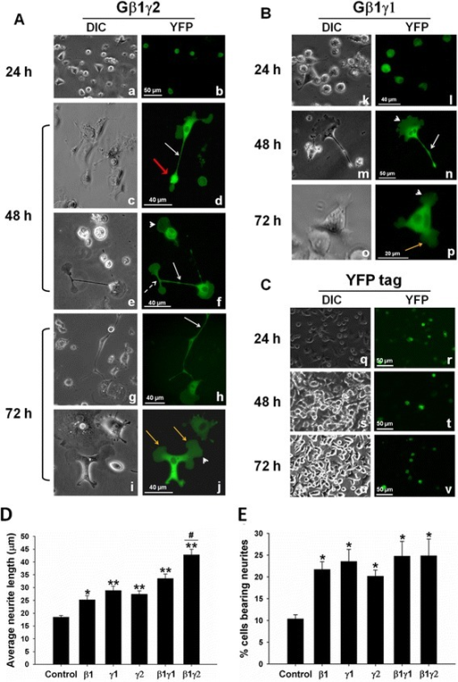 Overexpression of Gβγ induces neurite outgrowth in PC12 cells. PC12 cells were co-transfected with YFP-tagged constructs encoding (A) Gβ1 and Gγ2 (β1γ2) or with (B) Gβ1 and Gγ1 (β1γ1) in the absence of NGF, using Lipofectamine LTX PLUS reagent according to manufacturer instructions. Cells overexpressing fluorescent proteins were monitored at different time points (24, 48, and 72 h) for protein expression and morphological changes using a fluorescence microscope. Images taken with DIC and YFP filters are shown. (C) PC12 cells transfected with a plasmid-encoding YFP only was used as control and observed through the same time points. Neuronal processes, white arrows; growth cones, red arrows; axonal branching, broken white arrow; cytoskeletal labeling, white arrowhead; enlarged and bulky neurites, yellow arrows. (D and E) Neurites were traced and measured using the 2009 ZEN software from Zeiss. At least 100 cells from three independent experiments were measured for each preparation, and average neurite length and percent of cells bearing neurites calculations and statistical analysis were done using SigmaPlot software. (D) The average neurite length of Gβ1-, Gγ1-, Gγ2-, Gβ1γ1- and Gβ1γ2- overexpressing PC12 cells. (E) The percentage of cells bearing neurites in transfected cells was also estimated. *p value < 0.05; **p value < 0.005 when compared to control. #p value = 0.005 when compared with β1γ1.