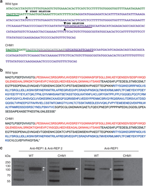 Characterization of the CHM deletion of patient CHM1. (a) The sequence of exon 7 of the CHM gene is indicated in green, and the sequence of exon 8 is indicated in purple. The 7-bp sequence (underlined in green) in exon 7, and the 15-bp sequence in exon 8 (underlined in purple), which are duplicated in the DNA of CHM1 are positioned on the wild-type complementary DNA (cDNA) sequence. The limits of the resulting deletion (arrowheads) are also indicated. The duplicated and deleted cDNA sequences of patient CHM1 for the corresponding region are shown. The inserted sequence is in gray. (b) The wild-type REP1 sequence of 653 aa containing two guanosine diphosphate (GDP) dissociation inhibitor (GDI) domains, indicated in red and blue. The truncated REP1 sequence is predicted to be 332 aa long and to contain a truncated second GDI domain (in blue). (c) Western blot analysis with an antibody recognizing both REP1 and REP2 detects two bands that migrate at ~110 (arrowhead) and 120 (arrow) kDa, respectively, in wild-type cells. In the cells of CHM1, only the larger band corresponding to REP2 (arrow) is detected. This was confirmed using an antibody specific to REP1, which detected a single band in wild-type cells (arrowhead) and no band in CHM1 cells. REP1, Rab escort protein 1.