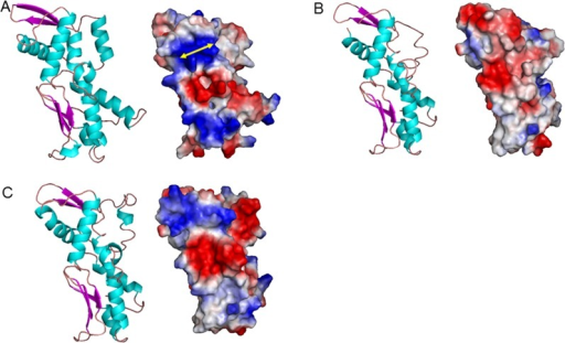 PPK3 3D structure of subunits.(A) β subunit; (B) ξ subunit; (C) α subunit. Protein structure (left) and protein surface graphic (right). Colors on graphics represent surface charges of the 3D structure of the protein. Blue = positive; Red = negative. Yellow double end arrows indicate observed strip of PCST.