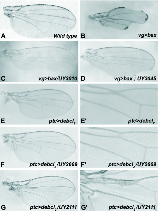 Examples of modified adult wing phenotypes(A) Wild-type wing. (B-D) Adult wings from bax expressing flies (at 18°C). (B)vg>bax, (C)vg>bax/UY3010, (D)vg>bax ; UY3045.(E-G) Adult wings from debcl expressing flies (at 25°C). (E'-G') are magnifications of (E-G). (E-E')ptc>debcl2(F-F')ptc>debcl2/UY2669, (G-G')ptc>debcl2/UY2111.