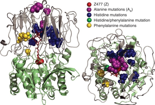 Homology model21 of Pfu POP.The hydrolase domain is shown in green, the propeller domain is shown in grey and cofactor 1 linked at Z477 is shown in red. Sites of different mutations introduced into Pfu POP are shown as coloured spheres.