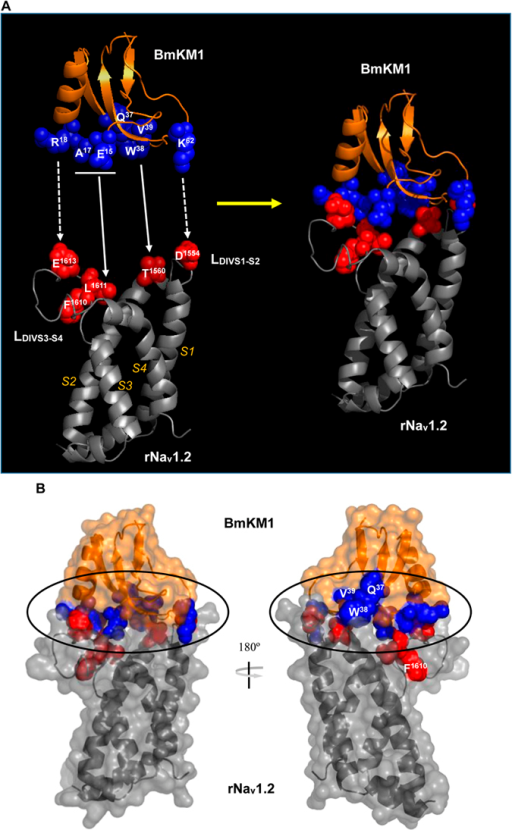 Detailed structural analysis of top 1 model of the ZDOCK complexes.(A) Ribbon models showing interactions between PSSs of toxins and residues derived from the VSD of rNav1.2, previously identified as a primary component of the receptor site for α-toxins (spheres in blue, PSSs and red, channel residues). Predicted contact residues between the toxin and the channel are indicated by arrows and dotted arrows illustrate residues forming salt bridges; (B). Molecular surface of BmKM1 and the VSD of rNav1.2 showing their interface (cycled), in which a ribbon structure of the backbone with side-chain atoms (space-filled) of PSSs and the channel residues is covered by a semi-transparent surface of the complex. The orientation of the ribbon structure is the same with that of Fig. 3A.