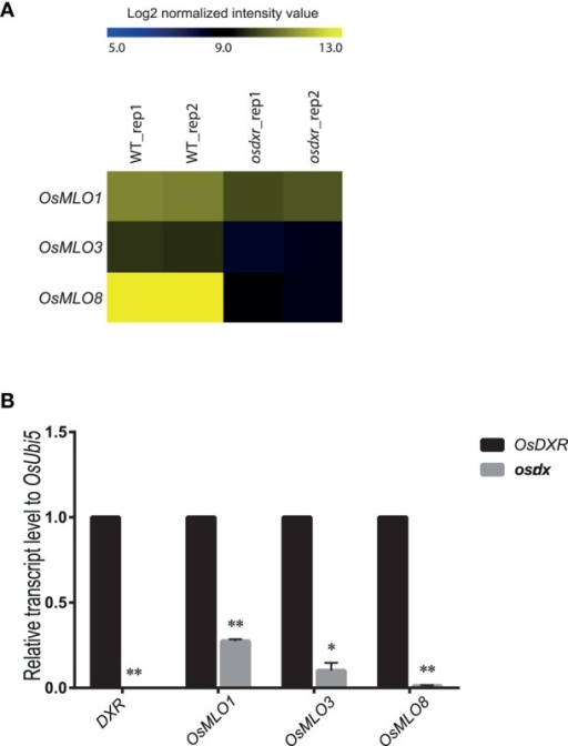 Heatmap for light- or dark-inducible expression of OsMLO genes in wild-type (WT/DXR) rice and osdxr mutant. (A) Analysis of 3 genes using Agilent 60K microarray data for osdxr mutant. (B) Validation of expression of OsMLO1, OsMLO3, and OsMLO8 in WT (DXR) and osdxr mutant. Transcripts of OsDxr was absent in knockout plant. **p < 0.01; *0.01 < p < 0.05.