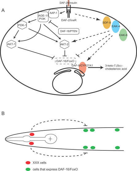 an overview of caenorhabditis elegans and its known mutation Programmed cell death in c elegans: the genetic framework programmed cell death in c elegans plays important roles in different mutations in the nuc-1 gene.