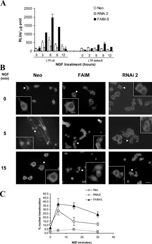 NF-κB activation is modulated by FAIM. (A) PC12 cells were stably transfected with an empty vector (Neo), with the FAIM-S expression plasmid, or with the FAIM RNAi plasmid. Cells were then transiently transfected with an NF-κB–dependent reporter vector (LTR KB) or with the equivalent control vector lacking NF-κB binding sites (LTR deltaKB). After 24 h, the cells were treated with NGF (100 ng/ml) for the indicated times and luciferase activity was measured in the cell lysates using a Luciferase Assay System. Luciferase values were normalized to protein concentration (RLU/μg of protein). (B) Immunocytochemistry was performed to detect the p65 subunit of NF-κB in similar cells as described in A. Representative low and high magnification photomicrographs are shown (arrowheads indicate the selected cells illustrated in the insets). Bar, 25 μm. (C) Graph showing the percentage of nuclear p65 staining in the different experimental conditions. The mean ± SEM of three independent experiments are shown.