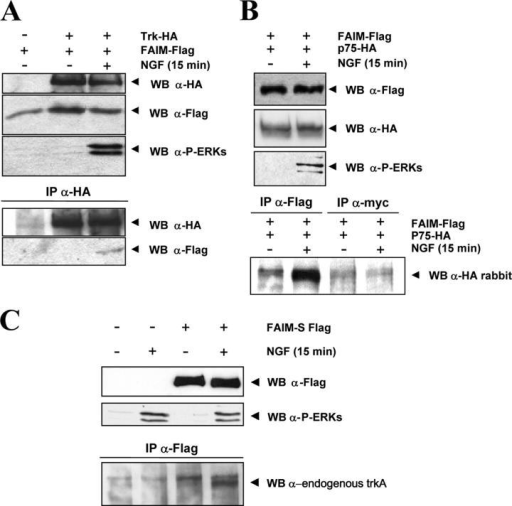 FAIM interacts with TrkA and p75NTR receptors in an NGF-dependent manner. Wild-type PC12 cells were electroporated with FLAG-tagged FAIM-S and either TrkA-HA (A) or p75NTR-HA (B). After 48 h, the cells were stimulated (+) or not (−) with 100 ng/ml NGF for 15 min. TrkA-HA (A) or FAIM-FLAG (B) were immunoprecipitated from 1 mg of cell lysate followed by Western blotting with either FLAG or HA antibody. An IP with myc antibody was used as a negative IP control in B. A fraction of the lysate was blotted with FLAG, HA, or phospho-ERKs antibody (top). (C) Wild-type PC12 cells were electroporated with FLAG-FAIM-S and were stimulated (+) or not (−) with 100 ng/ml NGF for 15 min. FLAG-FAIM-S was immunoprecipitated from 1 mg of cell lysate with the FLAG antibody, and Western blotting was used to detect endogenous Trk with anti-Trk antibody 203 in the precipitates. A fraction of the lysate was blotted with FLAG or phospho-ERKs antibody (top).