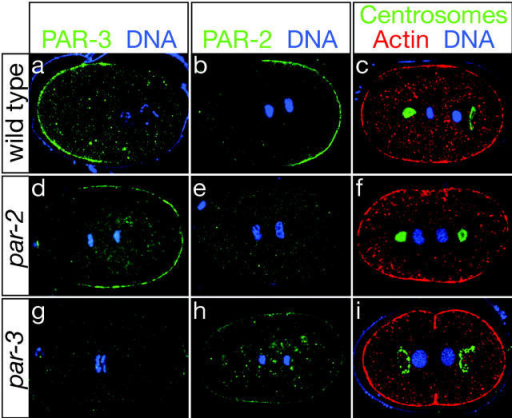 PAR proteins and mitotic spindle polarity in the C. elegans zygote. (a and b) In wild-type embryos, PAR-3 accumulates at the anterior cortex, whereas PAR-2 is localized to the posterior. (c) The posterior centrosome flattens in telophase. (d–f) In par-2(lw32) mutant embryos, PAR-3 spreads around much of the posterior cortex, PAR-2 is undetectable at the cortex, and both mitotic spindle poles remain symmetrical and rounded. (g–i) In par-3(it71) mutant embryos, PAR-2 encircles the embryo and both centrosomes flatten. In this and all subsequent figures, embryos are oriented with their anterior pole to the left.