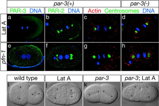 Intact MFs are required for cortical PAR localization, centrosome flattening, and mitotic spindle orientation. (a and b) Disrupting MF assembly with LatA results in a loss of cortical PAR-3 and PAR-2. (e and f) Cortical PAR protein levels also are reduced in pfn-1(RNAi) embryos. (c and g) Cortical MF assembly is disrupted in LatA-treated and pfn-1 mutant embryos (red). Both the anterior and posterior centrosomes remain rounded (green), and the first mitotic spindle does not become posteriorly displaced. (d and h) Centrosomes remain rounded in pfn-1(RNAi); par-3(it71) double mutants and in par-3(it71) mutants treated with LatA, suggesting that PAR-3 does not inhibit centrosome flattening in embryos with disrupted F-actin. Instead, we suggest that intact MFs are required for centrosome flattening itself. (i–k) Mitotic spindle orientation at the two-cell stage. Asterisks indicate the position of spindle poles. (i) In wild-type embryos, the posterior spindle lies along the a-p axis, perpendicular to the anterior spindle. (j) Both spindles are transverse in LatA-treated embryos. (k) Both spindles are parallel to the a-p axis in par-3(it71) mutant embryos. (l) Both spindles are transverse in par-3(it71) embryos treated with LatA.