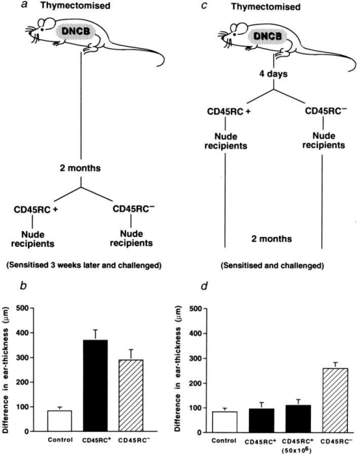 Evidence that antigen-experienced  DNCB-specific CD45RC− CD4 T cells revert to a  CD45RC+ phenotype in DNCB-sensitized rats.  Donor rats (thymectomized) were sensitized with  DNCB, TDL collected 2 mo (a, b) or 4 d (c, d) later,  separated into CD45RC+ and CD45RC− subsets  and 10 × 106 (or 50 × 106 as indicated) T cells transferred to athymic nude rats. Recipients were reconstituted for 3 wk (b) or for 2 mo (d), sensitized, earchallenged 4 d later and ear thickness measured after  24 h. Histograms represent means ± SD of 3 or 4  rats in each group. Test of significance: (b)  CD45RC+ vs CD45RC−, P <0.02.