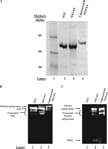 "NS3-4A purifies as two separable proteins. A, purified proteins were subjected to denaturing electrophoresis on a 4–12% gradient gel. Purified NS3 (lane 2), NS3-4A (lane 3), and NS3/4A polyprotein (lane 4) were subjected to electrophoresis side by side for comparison of mobilities. The band shown in lane 3 represents the NS3 component of a native, fully cleaved NS3-4A preparation. The band shown in lane 4 represents an NS3/4A polyprotein preparation produced by mutating the Thr/Ser cleavage site between NS3 and NS4A to a non-cleavable sequence (AA). In panels B and C, anti-NS3 and anti-NS4A Western blot analysis confirm the identity of our purified proteins (see ""Experimental Procedures""). Panel B depicts an anti-NS3 Western blot. In panel B, lane 1 contains purified NS3, lane 2 contains purified, full-length NS3-4A, and lane 3 contains purified NS3/4A polyprotein. Truncated forms of NS3 are visible below the full-length protein in each lane in the anti-NS3 blot. These truncated forms of NS3 are likely produced during bacterial expression as well as during the multiday purification performed in the absence of protease inhibitors. These truncated forms could represent either N- or C-terminal truncations of NS3 as the monoclonal anti-NS3 antibody binds to the central region of the helicase domain. Panel C depicts an anti-NS4A Western blot. In panel C, lane 1 contains purified NS3, lane 2 contains purified, full-length NS3-4A, and lane 3 contains purified NS3/4A polyprotein. Truncated forms of the NS3/4A polyprotein are visible below the full-length polyprotein in the anti-NS4A blot. These truncated forms of NS3/4A polyprotein likely represent N-terminal degraded NS3/4A as the monoclonal anti-NS4A antibody binds the final 11 C-terminal residues of NS4A."