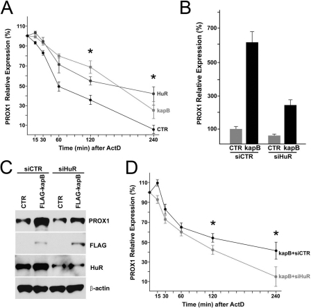 Kaposin-B upregulates PROX1 by promoting its mRNA stability through HuR.(A) PROX1 mRNA stability is increased by HuR and kaposin-B. LECs were transfected with a control (CTR), a HuR-expressing (HuR) or a kaposin B-expressing (kapB) vector for 16-hours and then treated with Actinomycin D (ActD) (2 µg/ml) for the indicated length of time. Total RNA was isolated and analyzed for PROX1 mRNA level by qRT-PCR analyses. (B,C) HuR is required for the kaposin-B-mediated PROX1 upregulation in LECs. LECs were transfected with a control (CTR) or a FLAG-tagged kaposin B-expressing (kapB) vector. After 16 hours, the control or kaposin-B-expressing cells were divided into two groups and then transfected again with siRNA against luciferase (siCTR) or HuR (siHuR). Total RNA and whole cell lysate was harvested from each group after 16-hours and subjected to qRT-PCR (B) or western (C) analyses. (D) Kaposin-B-mediated increase of PROX1 stability was abrogated by inhibition of HuR expression. LECs overexpressing kaposin-B were transfected with luciferase siRNA (kapB+siCTR) or HuR siRNA (kapB+siHuR) for 16-hours and then treated with Actinomycin D (ActD) (2 µg/ml). Total RNA was isolated at the indicated time points and analyzed for PROX1 mRNA level by qRT-PCR analyses. Similar results were obtained from three independent experiments and the error bars present standard deviations (SD) in a representative experiment. Asterisks in panels A &D present p-value less than 0.05.