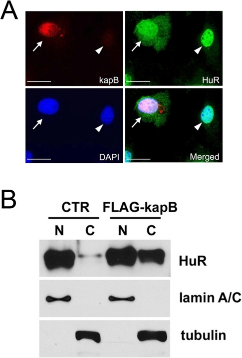 Cytoplasmic accumulation of HuR protein by kaposin-B.(A) LECs were transfected with an expression vector for FLAG-tagged kaposin-B for 16-hours and subjected to immunofluorescent analyses for FLAG-kaposin B (red), HuR (green) and DAPI (blue). A merged image shows that kaposin-B induces cytoplasmic accumulation of HuR only in kaposin-B-expressing cell (arrows), but not in a neighboring untransfected cell (arrowhead). Bar, 20 µm. (B) A control (CTR) or a FLAG-tagged kaposin-B vector (FLAG-kapB) was transfected into LECs for 16 hours. Nuclear (N) or cytoplasmic (C) fractions were collected and subjected to western blot analyses with antibodies against HuR, lamin A/C (nuclear marker) and tubulin (cytoplasm marker). Note accumulation of HuR protein in the cytoplasmic fraction by kaposin-B.