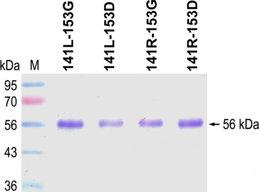 Expression and purification of the four different haplotype proteins of LOXL1. Each lane contains approximately 3 μg of purified recombinant LOXL1 protein of the 141L-153G, 141L-153D, 141R-153G, or 141R-153D haplotype. Lane M contains a molecular mass standard.