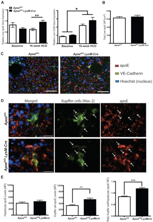 ApoE expression by liver and associated Kupffer cells.Relative CD68 (a macrophage marker) and Apoe gene expression were compared from whole liver extract of Apoeh/h and Apoeh/hLysM-Cre mice (n = 4 for baseline and n = 7 for 16-week HCD, mean±sem, *p<0.05, **p<0.01; A). Relative apoE protein was also quantified and compared from immunofluorescently labeled liver cross-sections (10 µm thick) after 16 weeks of HCD (mean fluorescence intensity (MFI); n = 7, mean±sem; B). Representative images of whole liver cross-sections show apoE (red) surrounding hepatic sinusoidal surfaces (identified with an endothelial cell marker: VE-cadherin in green), C; scale bar = 100 µm). Higher resolution images demonstrate higher apoE MFI associated with Kupffer cells in Apoeh/hLysM-Cre than in Apoeh/h mice (D; Mac-2, a macrophage marker, green; scale bar = 30 µm; white arrows point at individual kupffer cells). The apoE MFI per Kupffer cells and hepatocytes were quantified for both groups of mice and the relative ratio calculated (**p<0.01, ****p<0.0001; E).