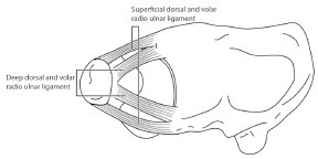 The dorsal and palmar radioulnar fibers originate from themedial border of the distal radius and insert on the ulna at twodistinct sites; deep fibers at the ulnar fovea and superficial fibers atthe ulnar styloid.