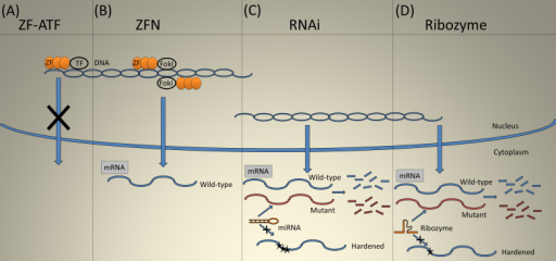 Gene suppression. A: Zinc finger artificial transcription factors (ZF-ATF) use suppressor transcription factors to silence gene transcription. B: Zinc finger nucleases (ZFN) causes a double-stranded break leading to correction of the mutation through recombination. C: miRNA and shRNA degrade the endogenous target transcript while sparing the introduced resistant mRNA (hardened) with an altered sequence. D: Ribozymes catalytically cleave the target transcript, but insertion of a guanosine at the target site dramatically reduces cleavage of the hardened target.